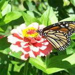 Monarch butterfly drinking nectar from a pink zinnia